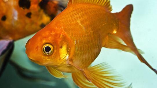 koncentrationsförmåga som en guldfisk